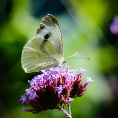 Pieris brassicae - Large White (mickmassie) Tags: gardentq209783 insecta lepidoptera