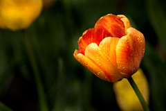 Amazing Tulip 3-0 F LR 4-13-19 J592 (sunspotimages) Tags: flower flowers tulip tulips nature