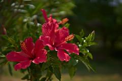 Hibiscus (pstenzel71) Tags: blumen natur pflanzen hibiscus hibiskus eibisch darktable flower bokeh