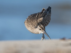 Whimbrel (JS_71) Tags: nature wildlife nikon photography outdoor 500mm bird new see natur pose moment outside animal flickr colour poland sunshine beak feather nikkor d500 wildbirds planet global national wing eye watcher spring 700mm