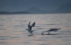 _MG_2965-Edit.jpg (Rolf Petters`s photos) Tags: havørn havørnsafari nesna grågås fugler fugl animal