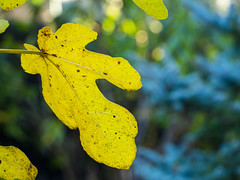 A fig leaf (Raoul Pop) Tags: autumn autumncolors color garden home nature outdoors time