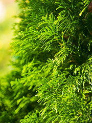 Thuja foliage (Raoul Pop) Tags: autumncolors color garden home nature summer sunlight time