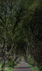 Dark Hedges - Come down the path with me! (On a new adventure. Back at the end of Sept) Tags: trees darkhedges lineddriveway beech nature northernireland2019 golfcourse jamesstewart gracehillestate