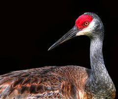 scared straight .... (daystar297) Tags: portrait crane sandhillcrane florida bird wildlife feathers beautiful colors closeup face nikon birds nature