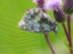 IMG_8269 (germancute) Tags: nature net