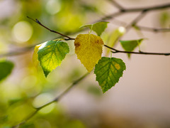 Silver birch leaves (Raoul Pop) Tags: autumncolors color home summer time