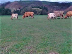 1553446005274 (2) (nigelgstyring) Tags: herd cows field bovine countryside