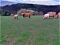 1553446006117 (2) (nigelgstyring) Tags: highlandcattle bovine cows farm farming field countryside nature herd
