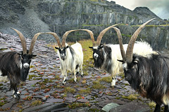 Now, listen to me.... (PentlandPirate of the North) Tags: dinorwic wild feral welsh mountain goats snowdonia northwales gwynedd slate quarry dinorwig nofear crazyeyes