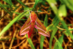 The Elephant In The Garden (HiJinKs Media...) Tags: elephanthawkmoth grass crazytuesday colours colors bristol bokeh deilephilaelpenor moth sphingidae colourful nature life pollinators