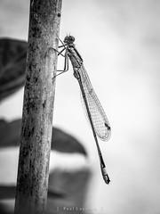 Damsel Fly 26/52 2019 (amipal) Tags: damselfly england garden gb greatbritain highresolution highres insect macro nature raynox150 saltdean sussex uk unitedkingdom photo 52 photoaweek photo52