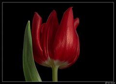 Tulip (Ken Mickel) Tags: beautiful bulbs floral flower flowers flowersonblack kenmickelphotography plants tulip blackbackground blossom blossoms botanical closeup nature photography