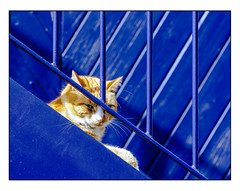 Wary (Photography And All That) Tags: wary cat feline railings bars steps wood wooden diagonal diagonals angles planks slats stare glare eyecontact blue thecolourblue whitephotoborder worn weathered paint painted sony sonyalpha7mark3 sonyalpha sonyilce7m3 streetphotography street cats ginger sunny sunshine shadow