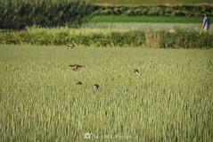 Raid aéreo (SantiMB.Photos) Tags: 2blog 2tumblr 2ig gallecs mollet vallèsoccidental vallès primavera spring trigo wheat campo field rural gorriones sparrows geo:lat=4156257980 geo:lon=219414260 geotagged molletdelvalles cataluna españa