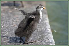 Foulque ado 190718-02-p (paul.vetter) Tags: oiseau ornithologie ornithology faune animal bird foulquemacroule fulicaatra eurasiancoot blässhuhn focha galeirão