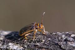 Chrysomèle de la viorne (pyrrhalta viburni) (pierre.pruvot2) Tags: coléoptère beetle insecte arthropode macro olympus60mmmacro lumixg9 panasonic france pasdecalais maraisdeguînes chemindestêtards
