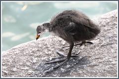 Foulque ado 190718-01-P (paul.vetter) Tags: oiseau ornithologie ornithology faune animal bird foulquemacroule fulicaatra eurasiancoot blässhuhn focha galeirão