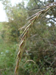Elymus caninus (Bearded Couch) (sianmatthews25) Tags: flora nottinghamshire cotgraveforest sk63 elymuscaninus
