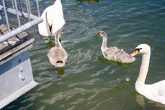 Swan's leg on its back (i_kaya@rogers.com) Tags: swan swanbaby leg toronto ontario canada swansleg lakeontorio park photo photography photograph