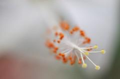 another hibiscus flower in the Tropical Ravine (conall..) Tags: hibiscus white whitehibiscus nikon afs nikkor f18g lens 50mm prime primelens nikonafsnikkorf18g closeup raynox dcr250 macro botanic park belfast southbelfast northernireland desenfoque outoffocus narrow dof selective focus flower