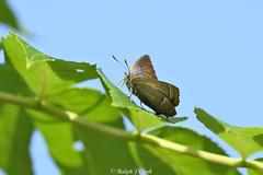 Purple Hairstreak (Ralph J Clark) Tags: purplehairstreak butterfly summer papercourtmeadows surrey nikon200500mmf56 ashtree