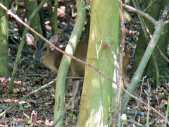 IMG_4443 can you see me ? (belight7) Tags: female muntjac deer hidden shy uk england nature forest burnham beeches