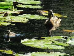 IMG_4409 mandarins (belight7) Tags: mama baby ducks pond uk england nature forest burnham beeches