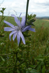 Cichorium intybus (Chicory) (sianmatthews25) Tags: chicory cichoriumintybus clipston sk63 flora nottinghamshire
