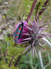 Clashing Colours (sianmatthews25) Tags: moth sixspotburnetmoth carduusnutans muskthistle netherfield nottinghamshire