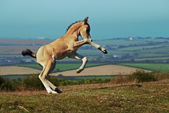 Jumping with Joy! (Simon's Ponie / horse photography) Tags: cefn bryn the gower welsh ponies pony horse horses wild semi managed wales swansea simon prior equine 2019 july animals foal gelding mare hopping joy playing baby