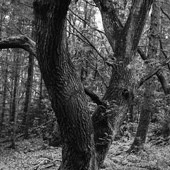 Stanley Burn Woods, Mamiya C220 with 80mm f3.7, Tmax 400 in Ultrafin (Jonathan Carr) Tags: tree woodland monochrome blackandwhite 6x6 mediumformat mamiya