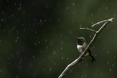 Loving the rain (dbifulco) Tags: bird male nature newjersey perched rain raining rubythroatedhummingbird wildlife