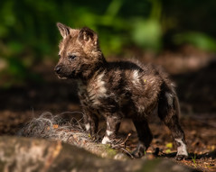That Sun's bright - can I have some Doggles-1 (tiger3663) Tags: painted dog pup yorkshire wildlife park doggles