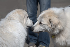 Two Pyrenees Meet (Scott 97006) Tags: dogs canine animal pyrenees sniff smell hairy white fur cute