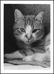 Le chat (cdut70) Tags: chat noiretblanc photoargentique argentique ilfordhp5 nikon nikonf80 nikon50mmf18 portraitchat animaux blackandwhite bw portrait pelliculeilford pelliculeilfordhp5 ilfordid11 révélateurid11 ilfordrcmgperlé filmbw filmnoiretblanc cat