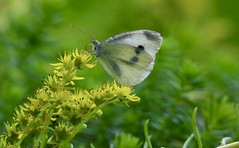 Butterfly (Diane Marshman) Tags: butterfly white black gray spots angelina flowers yellow small tiny blooms green stems summer pa pennsylvania nature