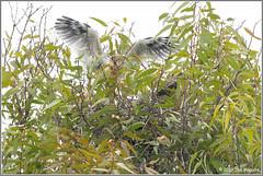 Wing Testing 3984 (maguire33@verizon.net) Tags: elanusleucurus pradoregionalpark whitetailedkite bird birdofprey chick juvenile kite nest nesting raptor wildlife
