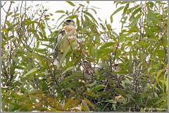 White-tailed Kite Nest 3871 (maguire33@verizon.net) Tags: elanusleucurus pradoregionalpark whitetailedkite bird birdofprey chick juvenile kite nest nesting raptor wildlife