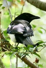 Black and white (tanith.watkins) Tags: blackandwhiteincolour smileonsaturday magpie