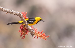 The oriole and the ocotillo (Photosuze) Tags: birds animals nature wildlife avians aves orioles hoodedorioles ocotillo desert