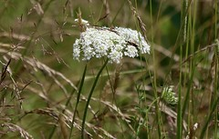 The Queen Of The Field (Diane Marshman) Tags: queenannelace queen anne lace white flower head summer blooming blooms tall green stem perennial native wildflower field grass seeds brown nature pa pennsylvania queenanneslace small tiny flowers
