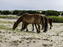 Wild Horses of Corolla (Thad Zajdowicz) Tags: leica zajdowicz travel corolla northcarolina usa mammal horse equine wild beach herd color colour animal nature
