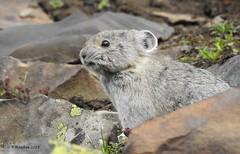 Pika (pamfromcalgary) Tags: animal rodent pika pamhawkes