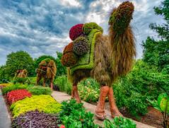 Camel Stroll (4 Pete Seek) Tags: garden gardens botanicalgarden botanicalgardens atlantabotanicalgardens atlanta atlantageorgia atl aurorahdr hdr ai downtown downtownatlanta urban urbanphotography urbanlandscape flowers