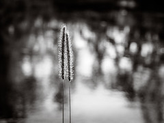 together we are strong (de_frakke) Tags: grass bw nature