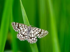 Chiasmia clathrata (de_frakke) Tags: moth mariposa nachtvlinder motje