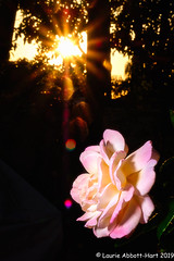 20190723Flaming Rose29877-Edit (Laurie2123) Tags: 52weeksof2019 ad200 fujixt2 laurieabbotthartphotography laurieturnerphotography laurietakespics laurie2123 backyard offcameraflash rose sunflare