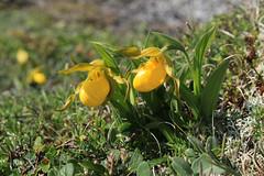 IMG_3171 (TMM Cotter) Tags: point riche port au choix newfoundland nl yellow ladys slipper orchid cypripedium parviflorum wildflower flower