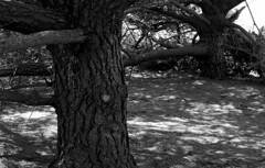 Cypress (bingley0522) Tags: nikkormatftn micronikkor55mmf35 trix hc110h epsonv500scanner halfmoonbay cypress shade coastalcalifornia trees ordinarythings commonplacethings autaut blufftrail